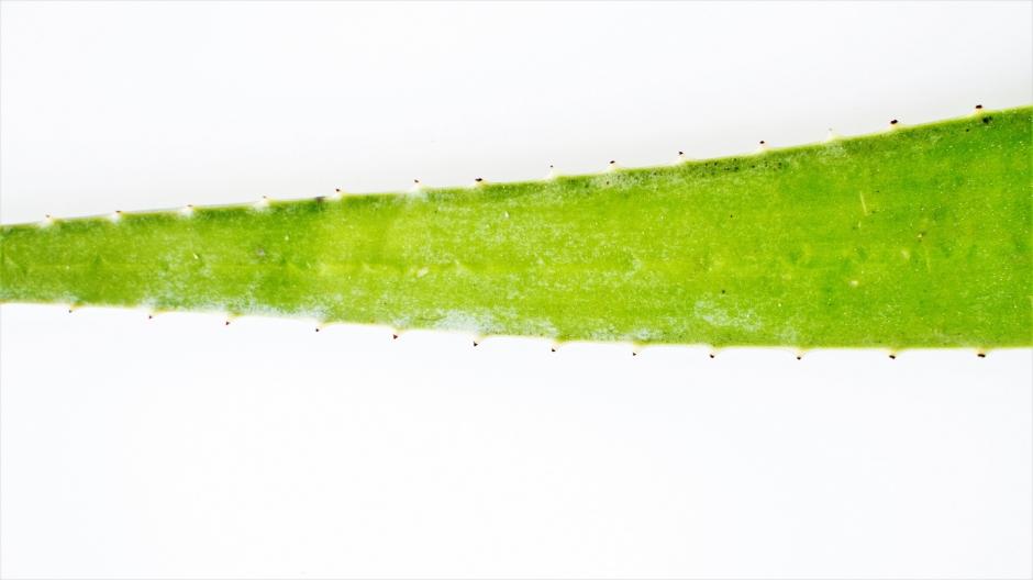 Aloe vera recette (7)